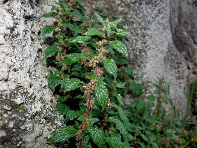 Una Planta Del Mediterraneo Aumenta Las Alergias En Vigo Vigo
