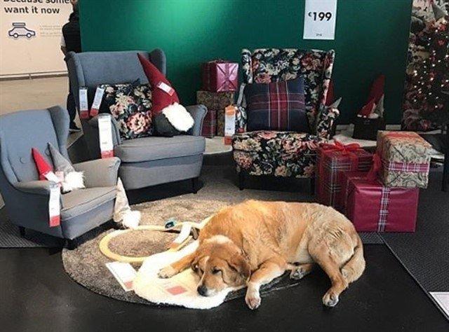 IKEA abre sus puertas a los perros callejeros